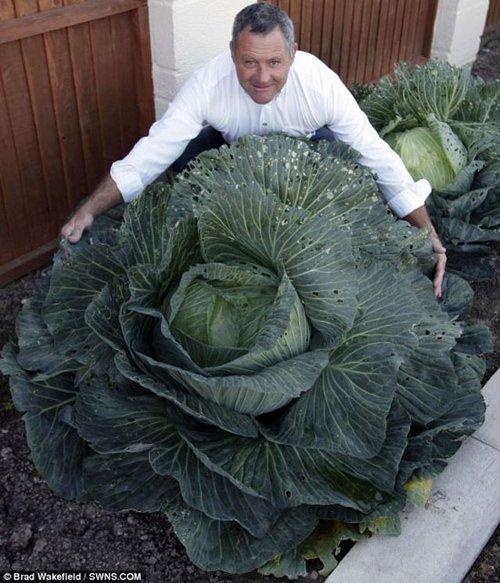 英业余园丁种出超大洋白菜 发愁如何吃完