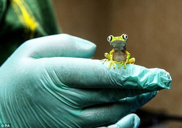 动物园人造雨林环境成功繁殖濒危狐猴叶蛙
