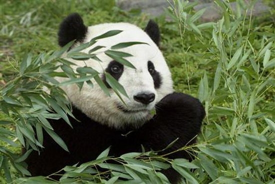 科学家预测未来百年全球升温或致使熊猫灭绝
