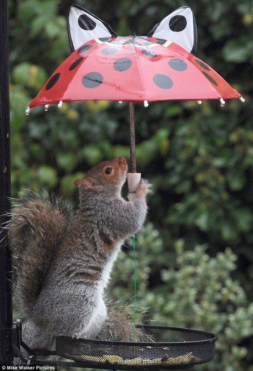 """英国松鼠""""小鬼当家"""" 打伞偷吃鸟食"""