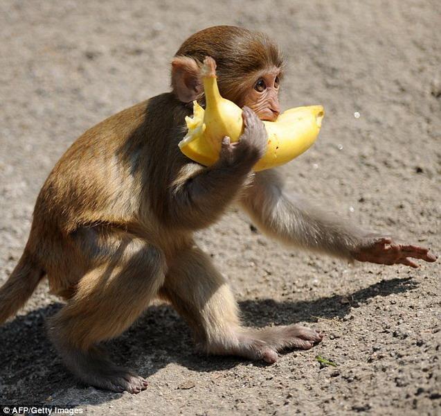 最新科学实验:猴子天生懂得数量比率概念