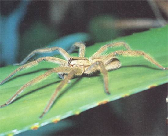 蜘蛛是除蟑螂之外第二种对震动极其敏感动物