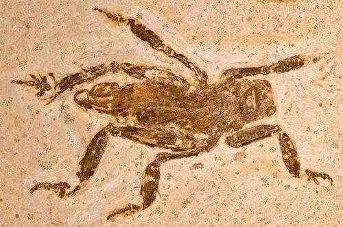 """考古发现1亿年前扁平足蟋蟀 长奇特""""雪鞋"""""""