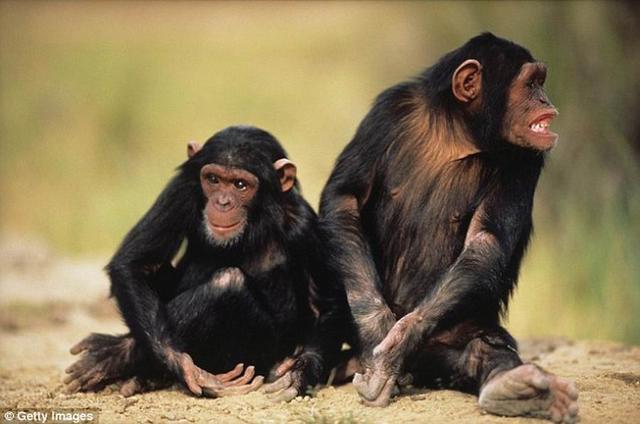 艾滋病病毒可在黑猩猩和人类之间传播