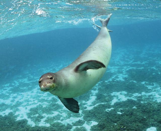 最新研究发现海豹也有磁场感应能力