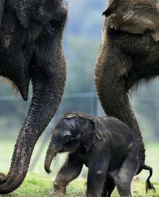 大象具有同情心 会通过身体接触表达安慰