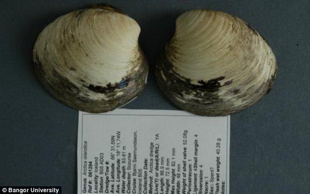 这是寿星圆蛤的贝壳,已存活507年,是迄今存活时间最长的软体动物,英国