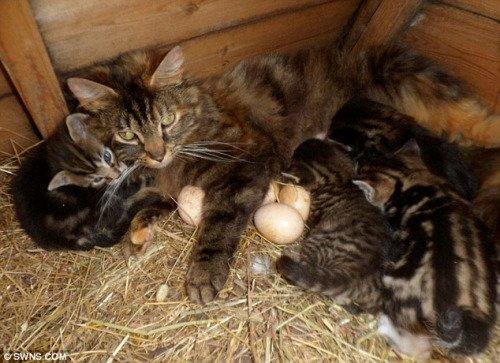 """母猫替母鸡""""孵""""鸡蛋 有序协作令人称奇(图)"""