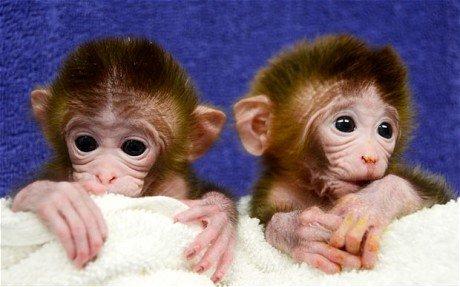 美国诞生首例转基因猴 基因来自6个不同胚胎