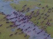 组图:四川出现百牛渡江景象 蔚为壮观