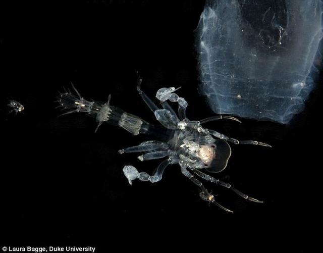 神秘甲壳纲生物的细菌涂层能够抑制光线反射