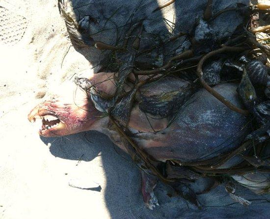 海滩发现神秘无毛尖牙动物尸体 疑为吸血怪兽