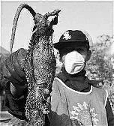 在德黑兰肆虐的巨鼠重达四五公斤