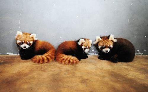 山东烟台南山动物园三胞胎小熊猫度过危险期