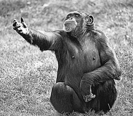 日本最新研究:黑猩猩短时记忆能够超越人类