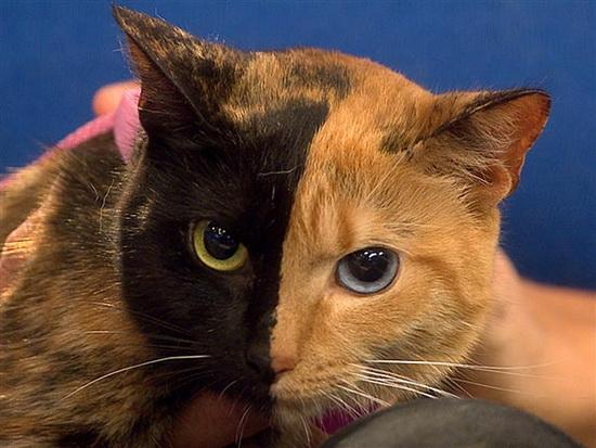 """揭秘神秘""""阴阳猫"""":长双色面孔和双色眼睛"""