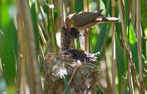 布谷鸟幼仔试图从芦苇莺那里索取更多食物