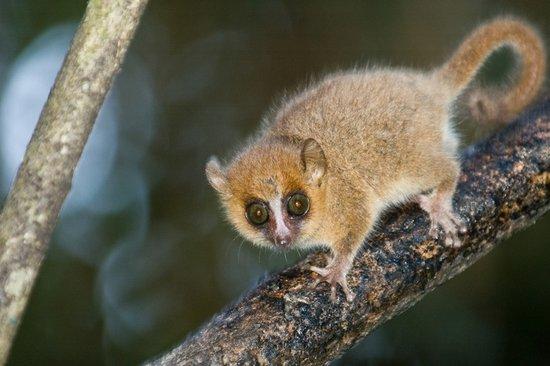 """研究人员发现狐猴具备""""听声辩亲""""的能力"""