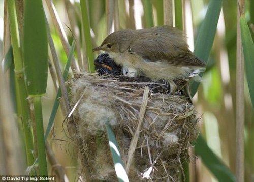 芦苇莺用翅膀为布谷鸟幼仔取暖