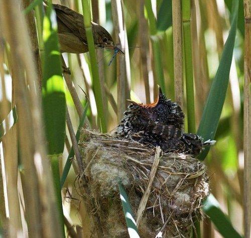 芦苇莺居然给身躯庞大的布谷鸟幼仔喂食