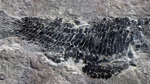 鱼儿为什么也能飞翔?古化石揭开谜团