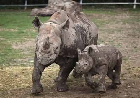 中非的北部野生白犀牛可能已经灭绝了,而越南的爪哇犀牛也可能已经