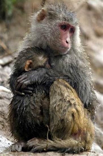 """科学家最新发现猴子的""""利他行为""""大脑细胞"""