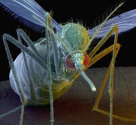 科学家称变异蚊子能根除疟疾