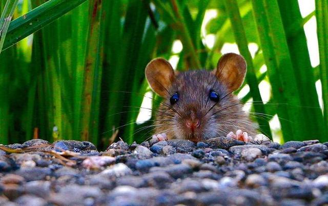 哺乳动物内耳一种毛细胞可再生