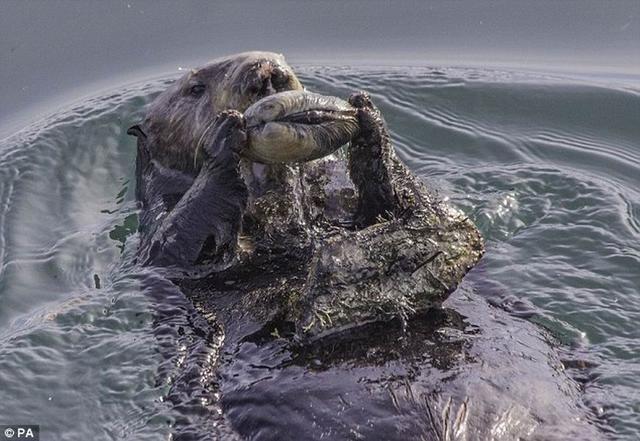 研究称数百万年前海獭就会使用石块工具觅食