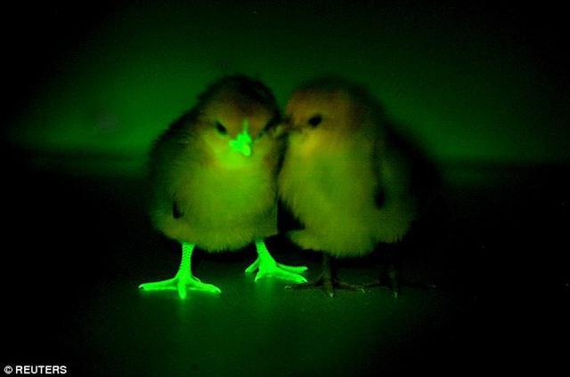 科学家培育转基因荧光鸡 有望克制禽流感