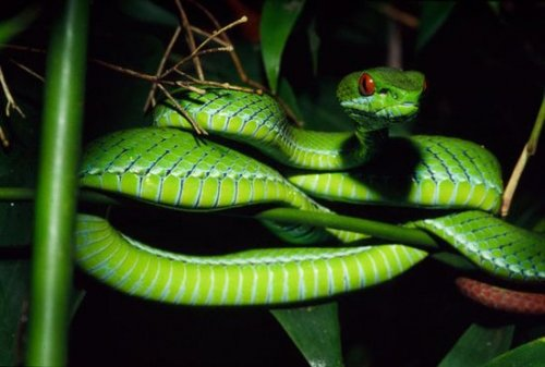 皇蛇兽_东南亚发现新型蛇种 碧绿色皮肤眼睛似红宝石