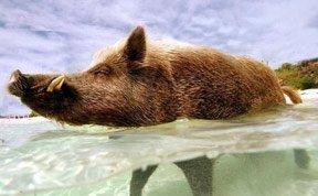 揭秘巴哈马野猪奢侈生活