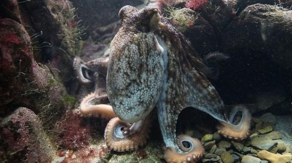科学家们的最新发现让我们完全可以把章鱼称之为外星人。