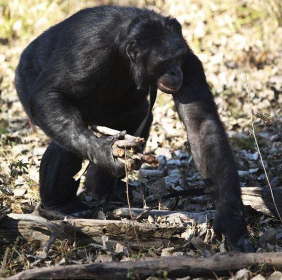 世界最聪明黑猩猩会烹饪能认字