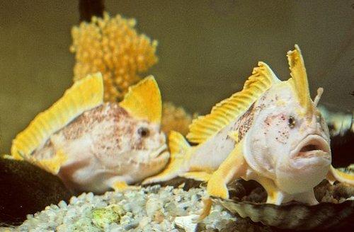 """澳大利亚出现奇特鱼类 会用""""手""""走路(组图)"""