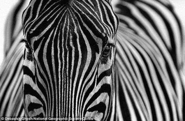 斑马黑白相间的条纹是为了防止蚊子叮咬