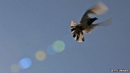 科学家揭开信鸽世界的神秘百慕大三角之谜