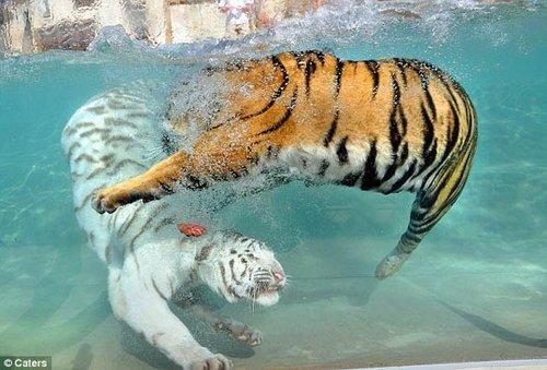 美动物园猛虎水中嬉戏 争肉闹得不可开交(图)