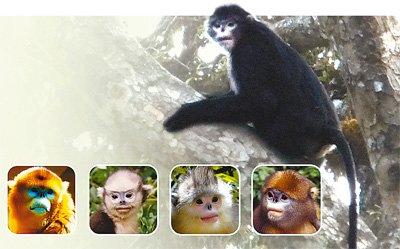 专家确认中国境内存在世界第五种金丝猴