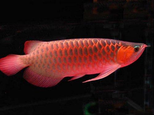 世界最古老的骨舌鱼目Osteoglossiformes化石在日本被发现