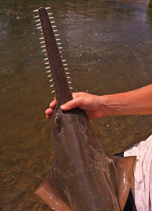 锯鳐并非温顺水底觅食者 大锯可将猎物切两半