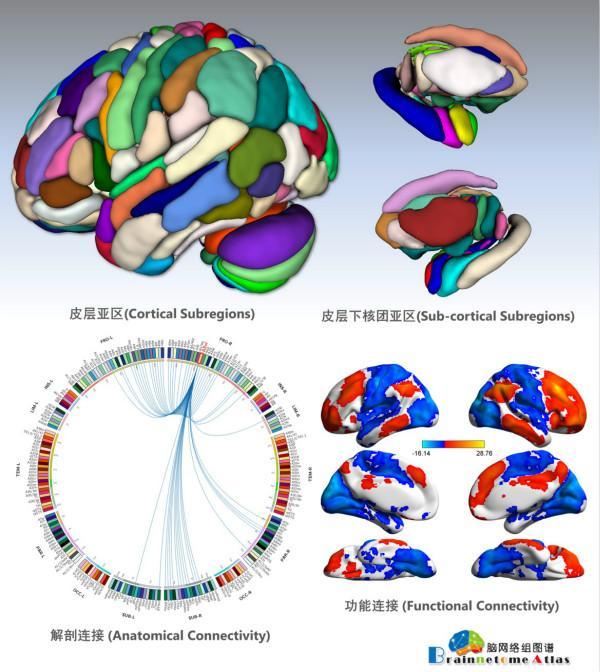中国科学家领衔绘制完成全新人类脑图谱 分出246个精细区域
