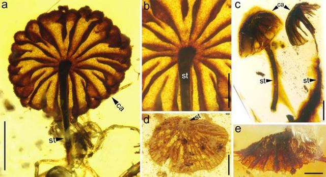 外媒:科学家发现迄今最古老蘑菇化石