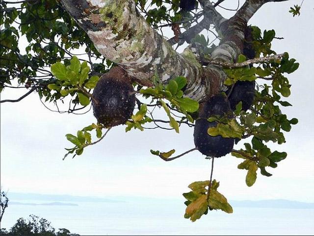 斐济一种神秘蚂蚁三百万年前就懂得农业种植