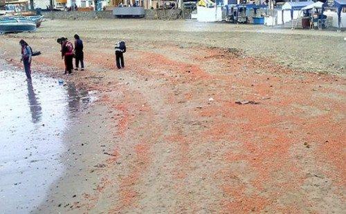 千余只红色磷虾