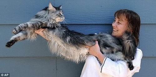 美国宠物猫身长116.4厘米 被载入吉尼斯纪录