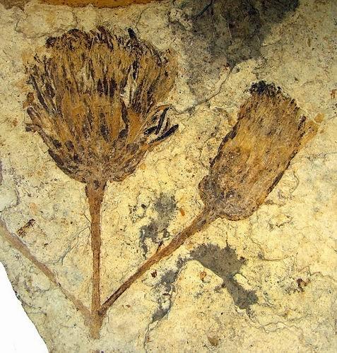 南美发现0.5亿年太阳花化石 酷似梵高向日葵