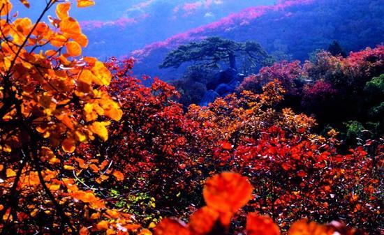 此时的香山,方圆数万亩坡地上枫树黄栌红艳似火,远远望去,会误以为是
