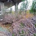 天津中石油桥下空地枯枝存隐患
